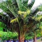 mule palm 2