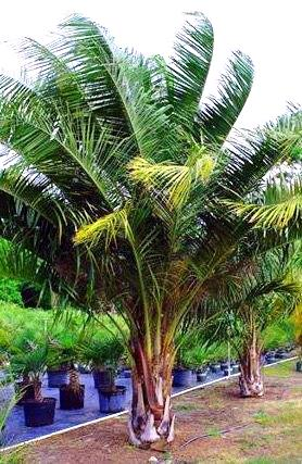 Mule Palm Adds Kick To Florida Landscapes Artistree