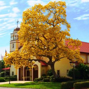 Yellow tabebuia tree